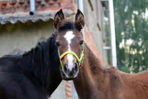 Pferdefohlen mit vermeintlich 2 Hälsen