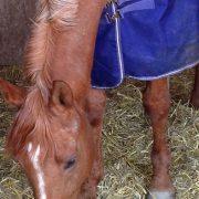Pferd mit Decke
