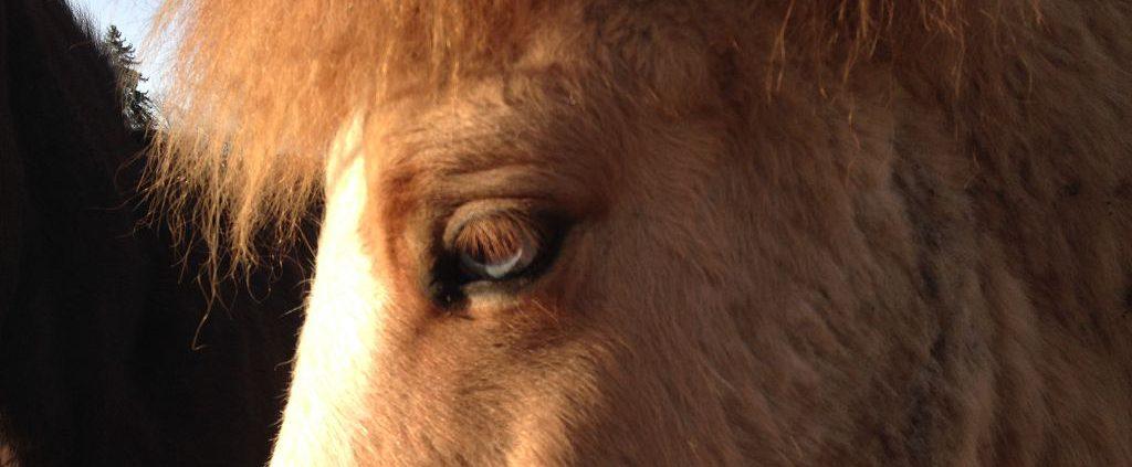 Isländer Pferd