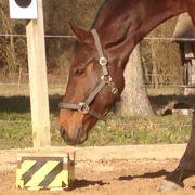 Lernverhalten von Pferden